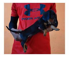Black And Tan Dachshund Pup For Sale