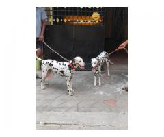 Good quality breeds available in saidapet