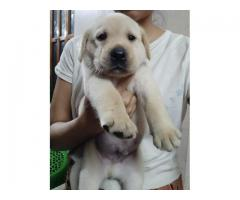 High Quality Fawn Show line Male Lab Puppy for sale 7760683099
