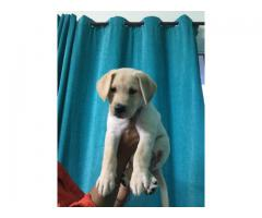 High Quality Fawn Show line Male Lab Puppy for Sale