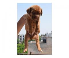French mestiff puppies available for sale in DOGS KENNEL contact@8810523600