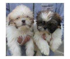 LHASA APSO AVA.FOR SALE @ DOGS KENNEL