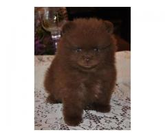 Rare Colour Chocolate Brown Pom Puppy Available For Sale in Delhi