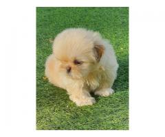 Toy Breed Lhasa Apso Female Pup For Sale