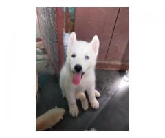 White siberian husky pup available