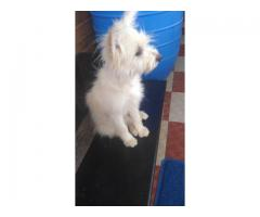 Female Lhasa Apso Dog for sale
