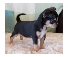 Toy Size ( Black And Tan ) Chihuahua Female Available For Sale