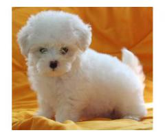 3 Months Old Maltese Male Puppy Ready To New Home