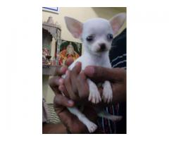 All breed best Quality Chihuahua Breed Top Quality Puppies Available 100% Pure