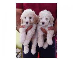 Available For Sale Super Quality Poodle Puppy in Delhi Ncr    7065100447