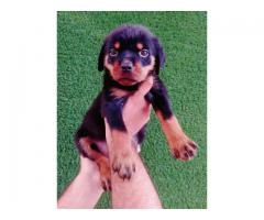 @@@rottweiler @@@ pups ready for rehoming