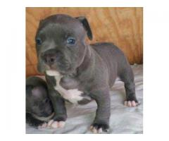 Tavaqqo Pet's Store Offers Reasonable American Bully Pups Available Here