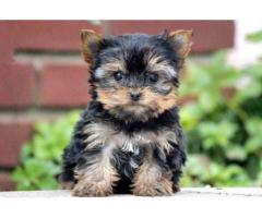 Ready To Move New Home Lovely ( Yorkshire Terrier ) Puppy In New Delhi