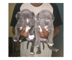 HEAVY HEAD FULLY ACTIVE CERTIFIED AMERICAN BULLY PUPPS AT 9205546224 ROYAL ORCHID PAWS