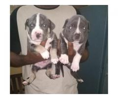 HEAVY HEAD FULLY ACTIVE CERTIFIED PITBULL PUPPS AT 9205546224 ROYAL ORCHID PAWS