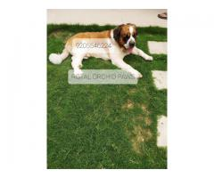 HEAVY HEAD FULLY ACTIVE CERTIFIED SAINT BERNARD PUPPS AT 9205546224 ROYAL ORCHID PAWS