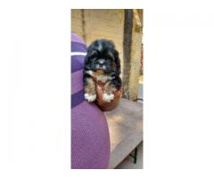 HEAVY HEAD FULLY ACTIVE CERTIFIED LHASA APSO PUPPS AT 9205546224 ROYAL ORCHID PAWS
