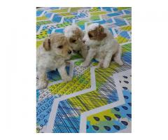 HEAVY HEAD FULLY ACTIVE CERTIFIED POODLE PUPPS AT 9205546224 ROYAL ORCHID PAWS