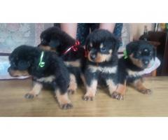 Female Rottweiler puppies with 22 claws