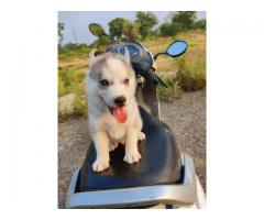 Dog$ kennel@@@siberian husky@@@ puppies for sale....8810523600