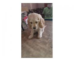 Dog$ kennel@@@cocker spaniel@@@ puppies for sale....8810523600