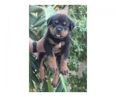 Dogs kennel-***rottweiler*** puppies ready for rehoming for more details call us @8810523600