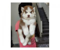 Siberian Husky Pure Wolfcoat , Copper Colour , Blue Eyes (18 May 2021)