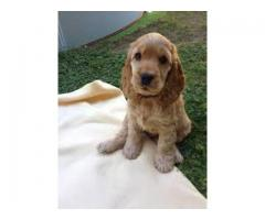 Healthy And Playful Breed American Cocker Spaniel Puppy Available @ DelhiOurKennel