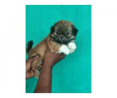Tavaqqo Pets Store  Excellent Quality Puppies LhasaApso For Sale Tel:- 8882234770.