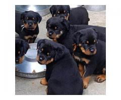 Best Quality Puppies In Delhi   Affordable   No Broker