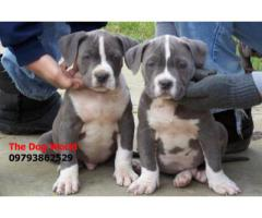 Large size XXL American Bully Puppies 9793862529
