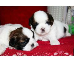 Shihtzu dog for sale