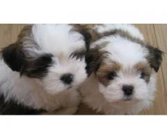 LHAS APSO PUPPY FOR SALE IN DELHI NCR | BEST PRICE RANGE 9555944924