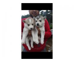 Husky mix puppies for sale.