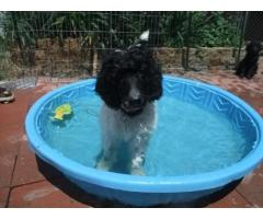 Poodle puppy for sale in Delhi | Best Price in Delhi