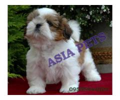 Show quality Shih tzu Pup available New delhi