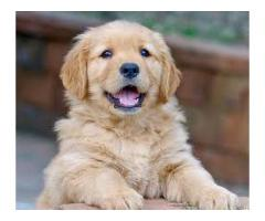 golden retriever puppy for sale in delhi | Best price in delhi