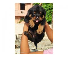 9716575323 Guard Dog Rottweiler pups for sale