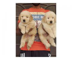 Top quality puppies available