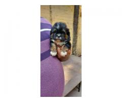 HURRY UP LIMITED STOCK LHASA APSO PUPPS AT ROYAL ORCHID PAWS 9205546224