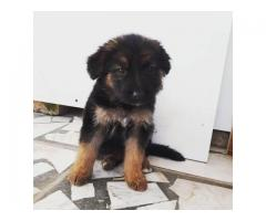 male and female German Shepard puppies