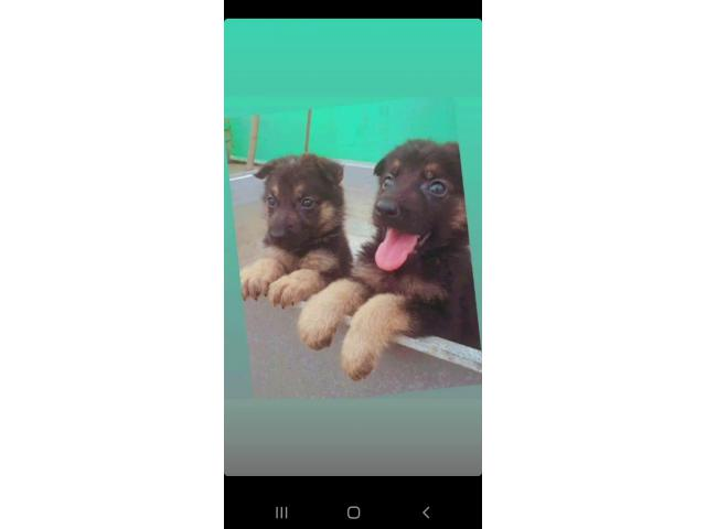 German shephard pup available