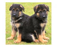 We Have Pure Quality German shepherd Breed Top Quality Puppies Available in Delhi