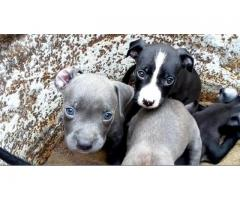 Pitbull male and female available for sale