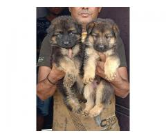 Fully Long Coat German Shepherd Puppy Available