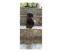 Top Quality puppies available, Doberman puppy 9891116714