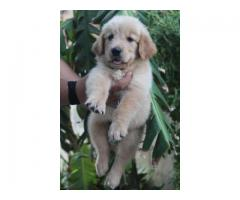 Golden retriever superb quality puppies ready for rehoming@8810523600