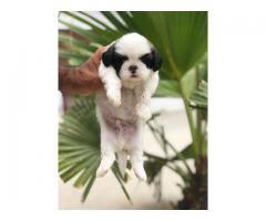 SHIH-TZU superb quality puppies ready for rehoming@8810523600