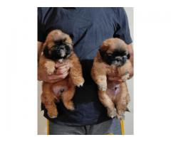 Lhasa apso superb quality puppies ready for rehoming@8810523600