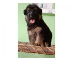 German shepherd superb quality puppies ready for rehoming@8810523600